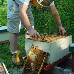 David Tarpy inspecting a bee hive.