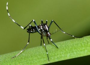 asian_tiger_mosquito_02