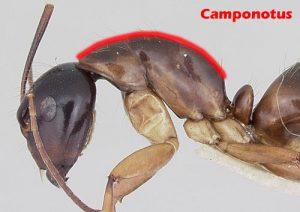 camponotus_profile