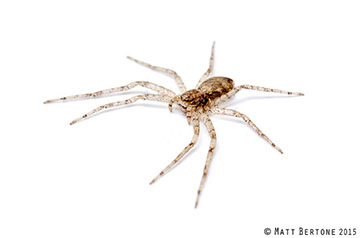 picture of a running crab spider