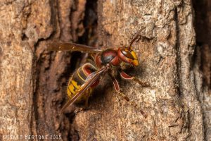 European hornet worker on tree trunk